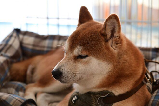 ペット用ベッドでくつろぐ柴犬